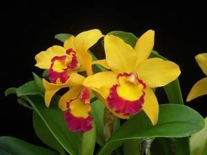 Почему желтеют нижние листья у орхидеи