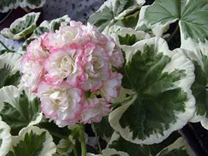 Пеларгония розебуд суприме