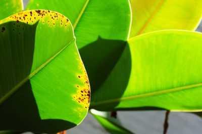 Почему желтеют листья у фикуса что делать