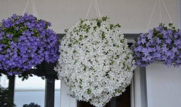 Комнатный цветок жених и невеста