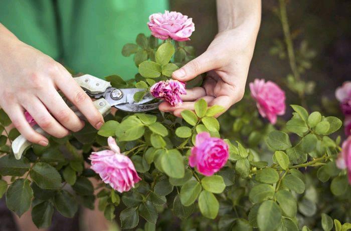Как поливать розы в горшке