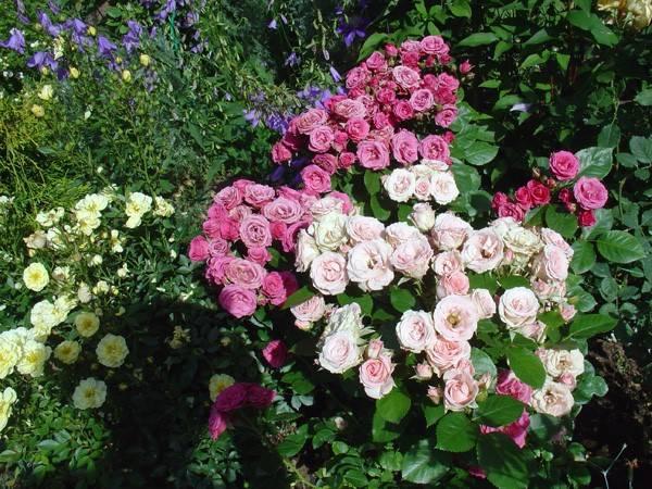 Роза мелкоцветковая