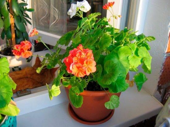 Чем полить герань для обильного цветения