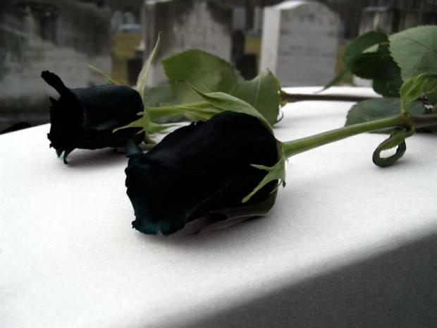Черные розы где растут