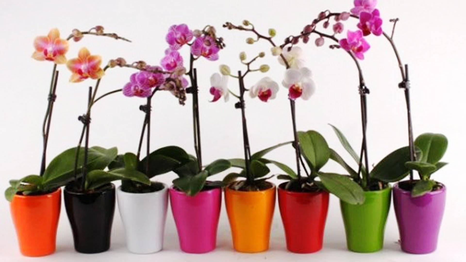 Как пересадить орхидею в домашних