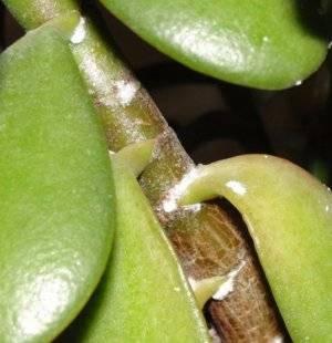 У толстянки сморщились листья что делать