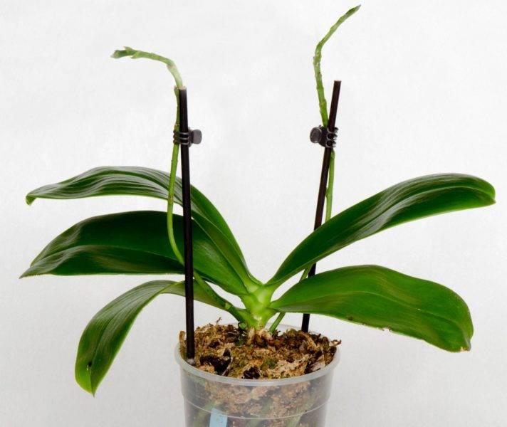 Что делать с орхидеей после цветения