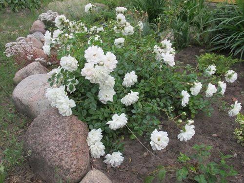 Самые зимостойкие сорта роз