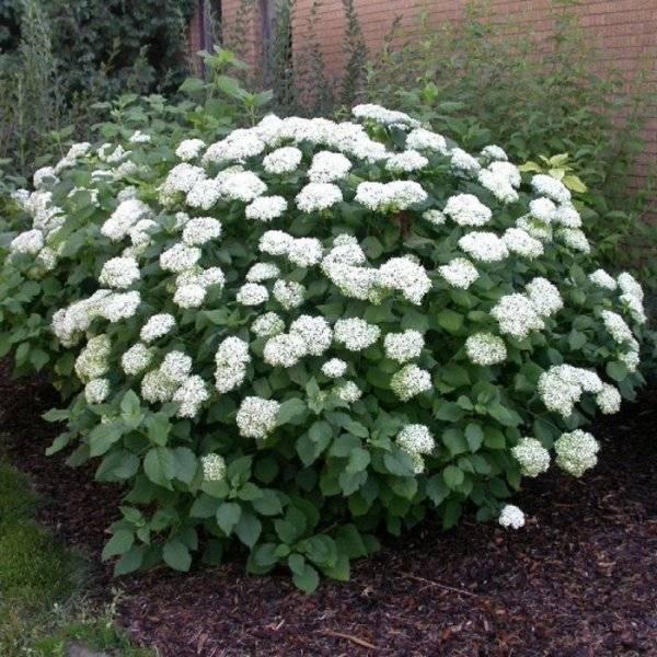 Как размножить садовую гортензию