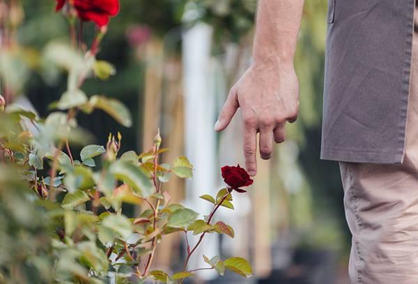 Чем опрыскать розы от тли