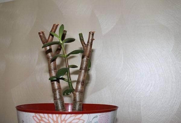Чем удобрять денежное дерево в домашних условиях