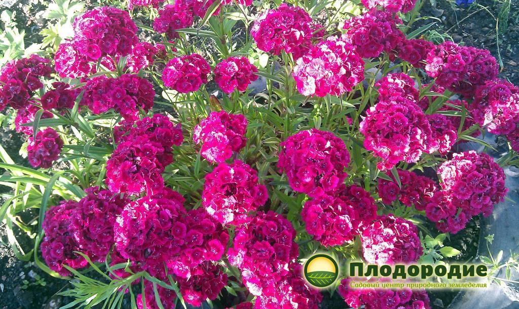 Роза фосфор