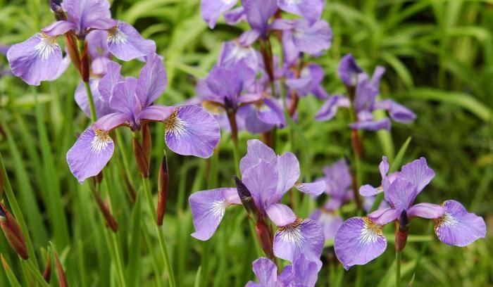 Растение с фиолетовыми цветами