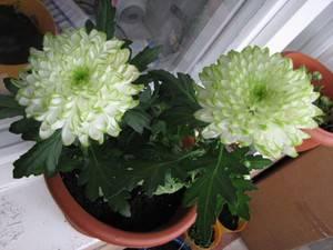 Хризантема домашняя