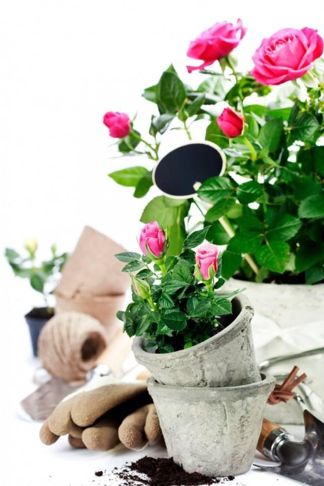 Как срезать розы после цветения