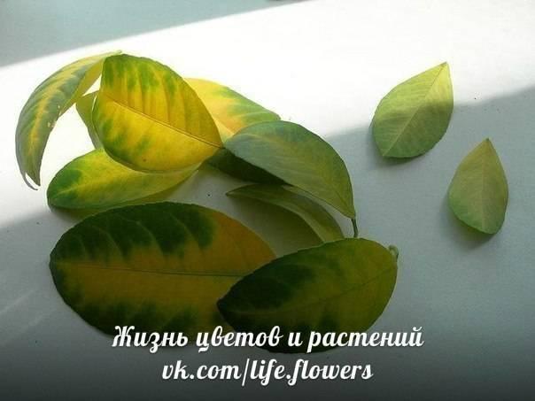 У лимона сохнут кончики листьев