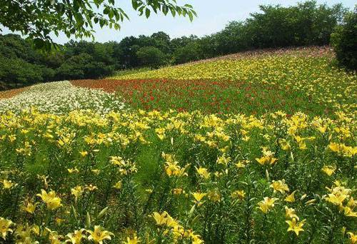 Японская лилия