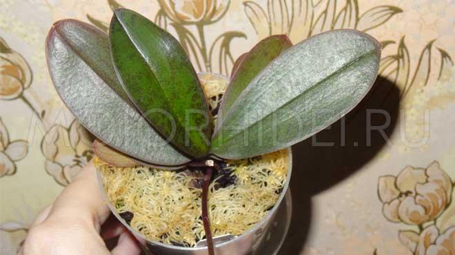 Можно ли вырастить орхидею из листа