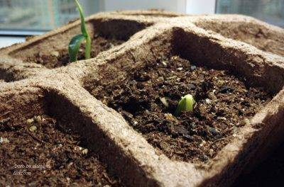 Лилии как хранить луковицы