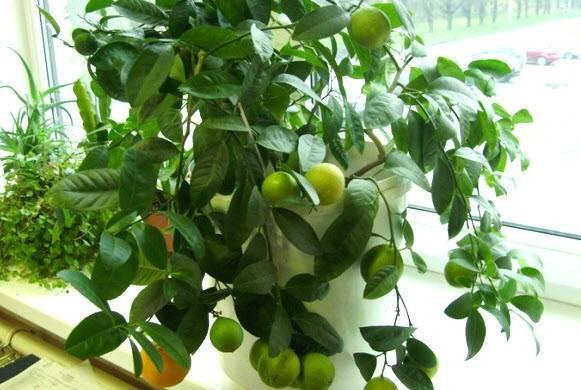 Пересадка лимона в домашних условиях