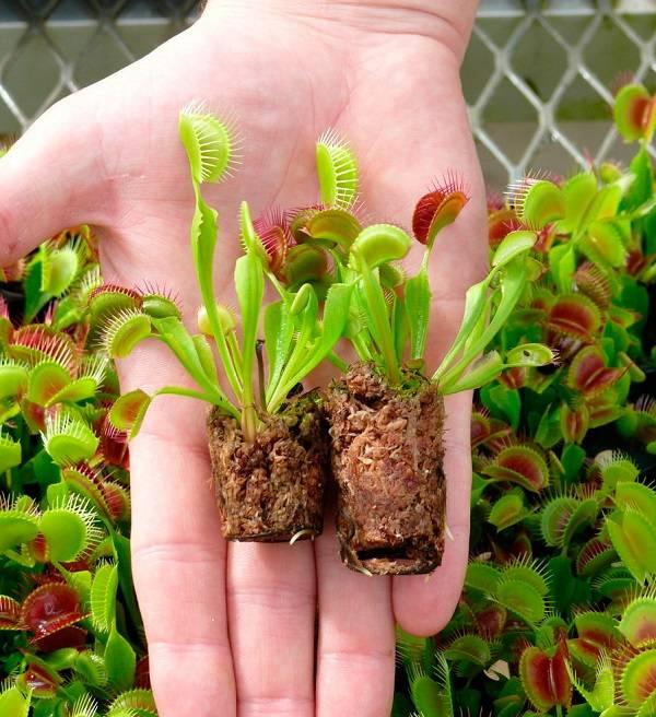 Dionaea muscipula в домашних условиях