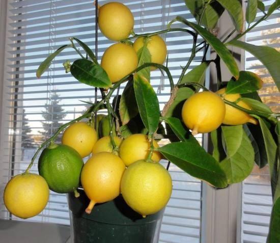 Чем подкормить лимон