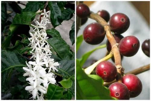 Как выглядит кофейное дерево