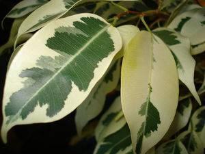 Фикус с длинными узкими листьями