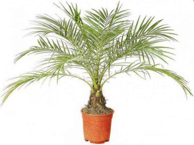 Как рассадить пальму