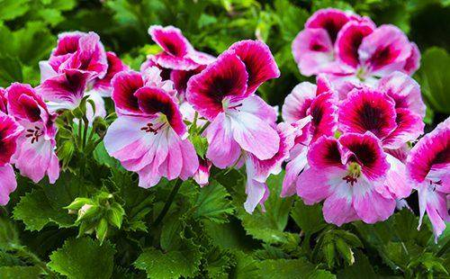 Почему не цветет пеларгония королевская