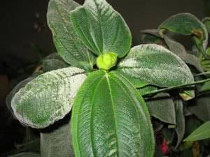 Белый налет на листьях комнатных растений