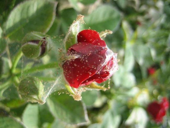 Почему не распускаются бутоны у роз
