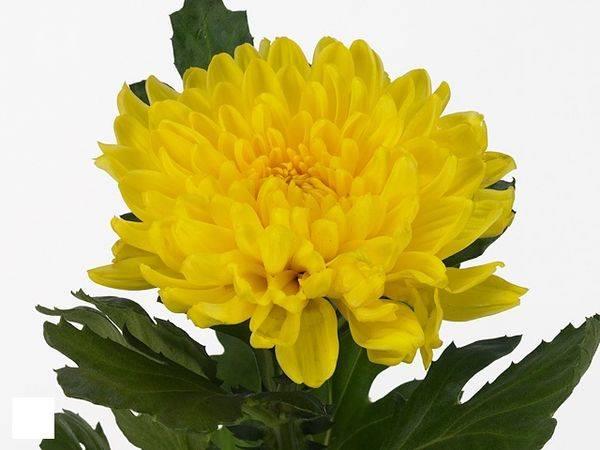 Хризантема петр