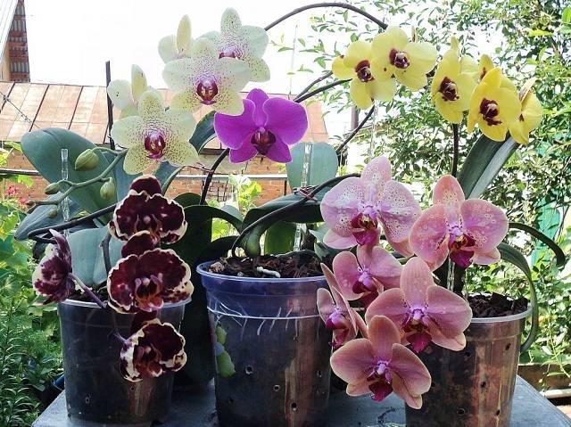 Сколько времени цветет орхидея в домашних условиях