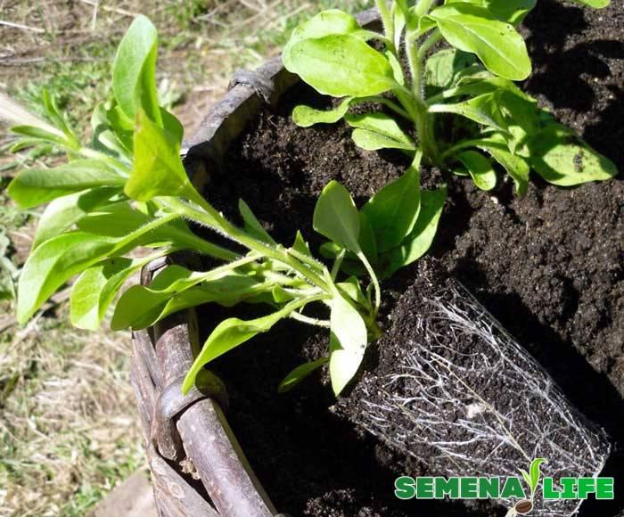 Как выращивать петунию из семян в домашних?