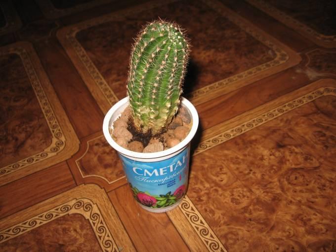 Когда можно пересаживать кактусы