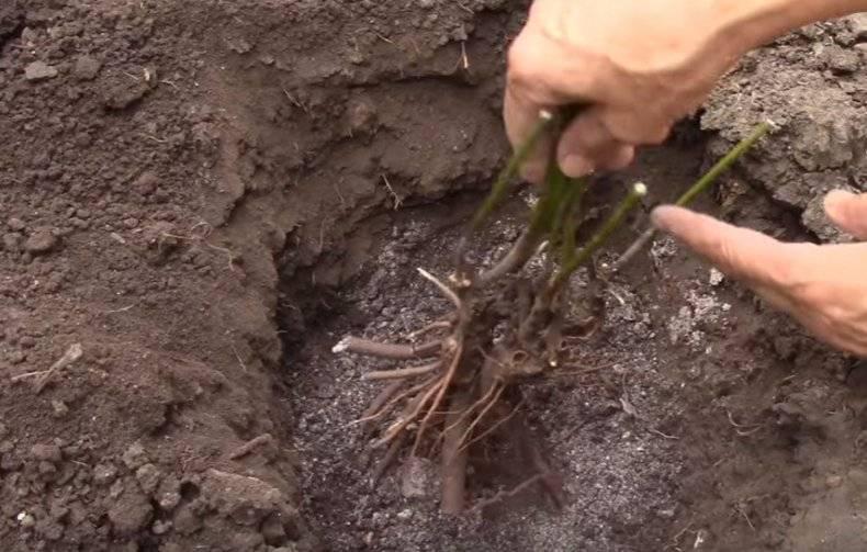 Можно ли пересаживать пионы осенью