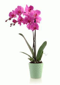 Как часто надо поливать орхидею