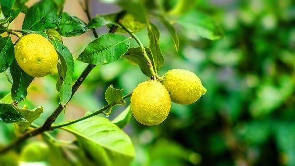 Как вырастить лимон дома из косточки