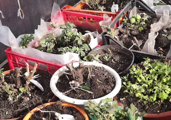 Почему не цветет хризантема в домашних условиях