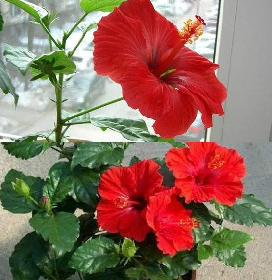 Цветок гибискус уход