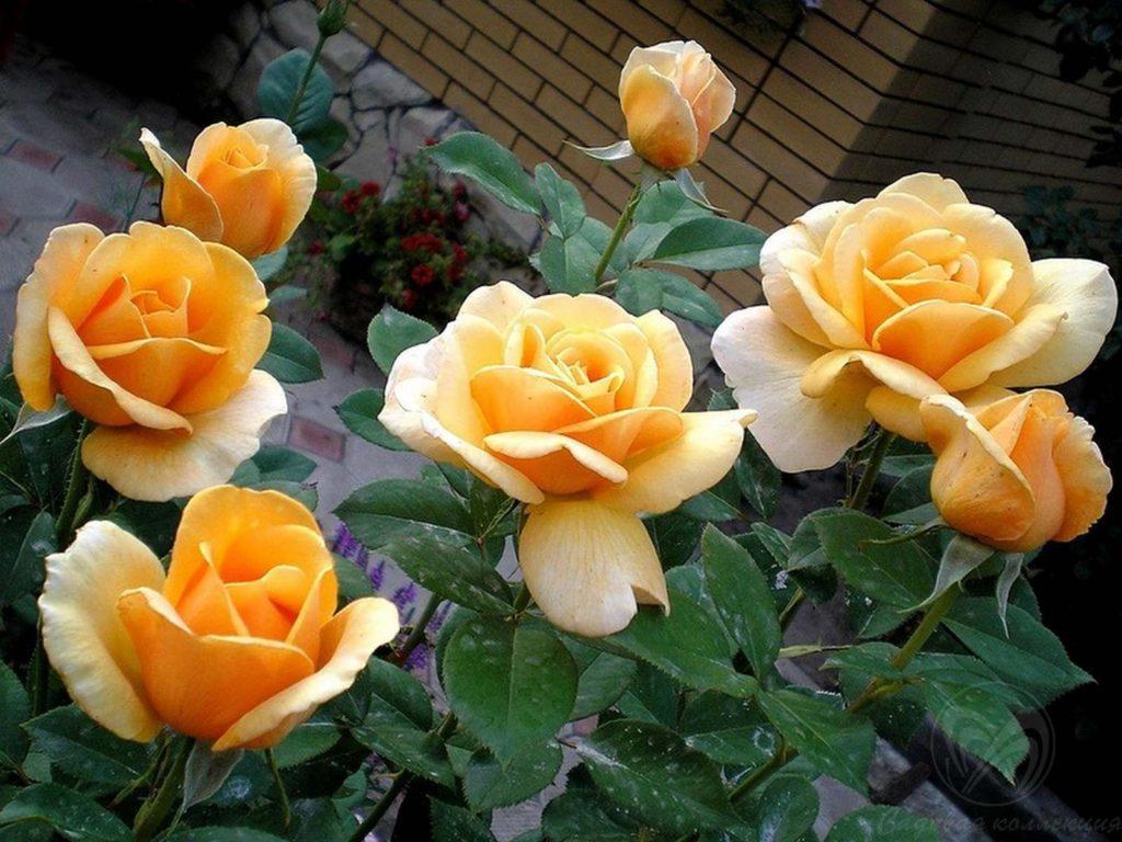 Уход за чайно гибридными розами