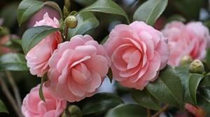 Цветок камелия уход в домашних условиях