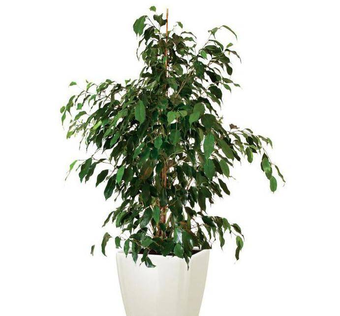 Как посадить фикус