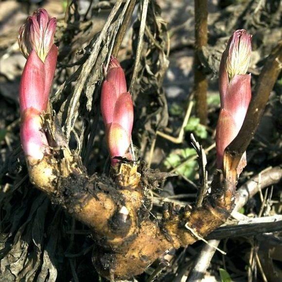 Когда пересаживать пионы осенью или весной
