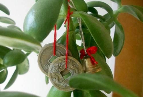 Как правильно сажать денежное дерево в горшок