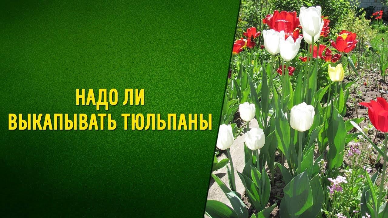 Нужно ли выкапывать тюльпаны каждый год