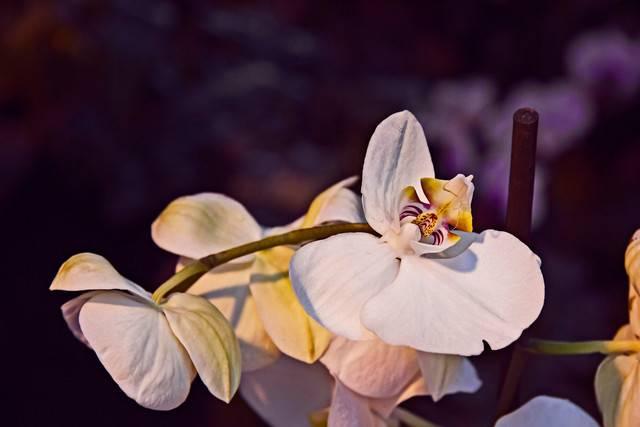 Что делать если орхидея завяла