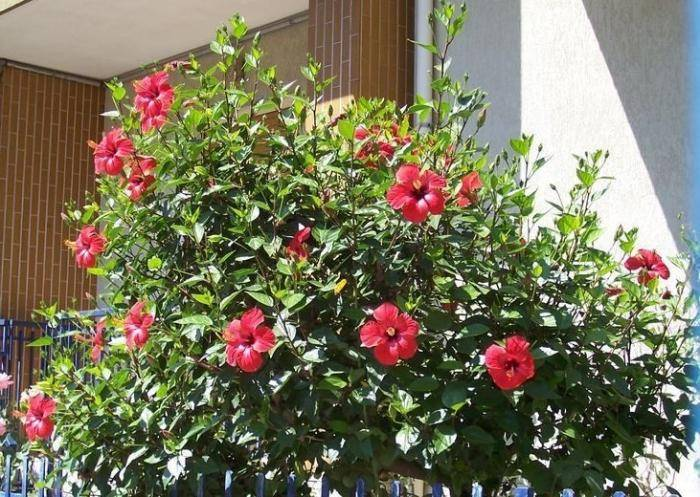 Китайская роза цветок смерти