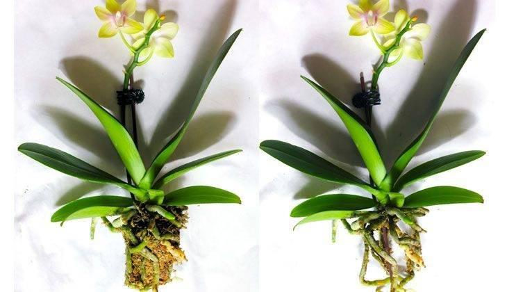 Как оживить орхидею в домашних условиях